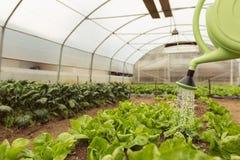 浇灌蔬菜沙拉的少妇自温室春天 库存照片
