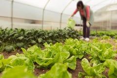 浇灌蔬菜沙拉的少妇自温室春天 图库摄影