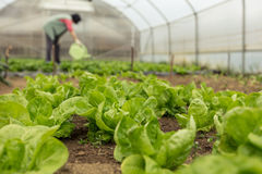 浇灌蔬菜沙拉的少妇自温室春天 库存图片