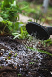 浇灌从喷壶的土壤 特写镜头,概念gardenin 免版税库存照片
