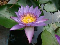 浇灌lilly在人为池塘科学名字睡莲科的花 库存图片