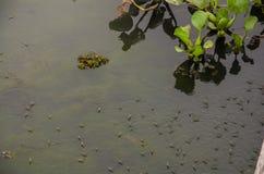 浇灌Striders或池塘溜冰者或Gerridae或者耶稣臭虫走 免版税图库摄影