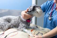 测量一只小髯狗的血压的兽医 库存照片