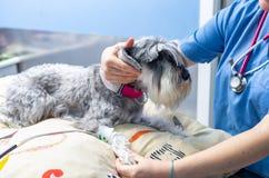 测量一只小髯狗的血压的兽医 图库摄影