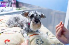 测量一只小髯狗的血压的兽医 免版税库存图片