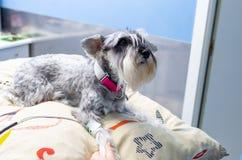 测量一只小髯狗的血压的兽医 免版税图库摄影