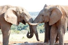 浏览我的眼睛-非洲人布什大象 库存照片