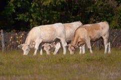 浏览3头夏洛来牛的牛 库存照片