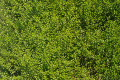 浓厚绿色套期交易 图库摄影