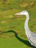 浓厚趟过在池塘的苍鹭与绿藻类 免版税库存照片