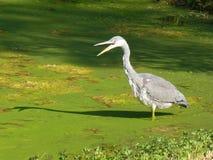 浓厚趟过在水池的苍鹭与绿藻类 图库摄影