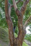 浓汤中间状态树 库存图片