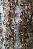 浓汤中间状态树的吠声 库存图片