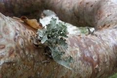 浓汤柔软树在有吠声和地衣细节的热带佛罗里达 免版税库存图片
