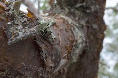 浓汤柔软树的树干在有削皮吠声和地衣细节的热带佛罗里达 库存图片