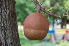 浓脂树饱满的树 免版税库存图片