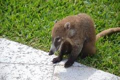 浣熊动物动物区系异乎寻常的尤加坦热带墨西哥 库存图片
