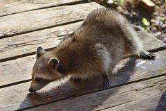 浣熊吃 库存照片