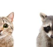 浣熊和猫的画象 图库摄影