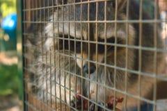 浣熊在动物园里 免版税库存照片