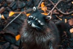 浣熊在它的后腿在一个公园在加里宁格勒 免版税库存照片