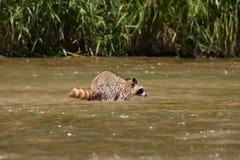浣熊在河 免版税库存图片