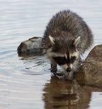 浣熊在移动在岩石中的湖 库存图片
