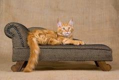 浣熊小猫缅因相当红色沙发 免版税库存图片
