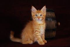 浣熊小猫缅因红色 库存图片