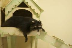 浣熊是松弛在他俏丽的房子里 图库摄影