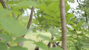 浣熊爬下来树 影视素材