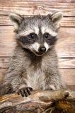 浣熊的画象 免版税图库摄影