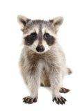 浣熊的画象 免版税库存图片