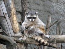 浣熊繁忙喜欢羊毛 免版税库存照片