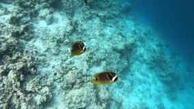 浣熊蝴蝶鱼在礁石的Chaetodon月形物,马尔代夫 影视素材