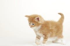 浣熊逗人喜爱的姜小猫缅因 免版税图库摄影