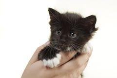 浣熊逗人喜爱的手持式小猫缅因 库存照片