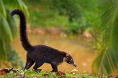 浣熊,浣熊属lotor,走在河附近在国家公园曼纽尔安东尼奥,哥斯达黎加,在森林浣熊的动物与长期 库存照片