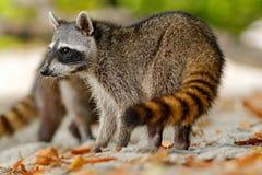 浣熊,浣熊属lotor,走在白色沙子海滩在国家公园曼纽尔安东尼奥,哥斯达黎加 免版税库存照片
