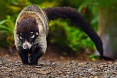 浣熊,浣熊属lotor,走在白色沙子海滩在国家公园曼纽尔安东尼奥,哥斯达黎加,在森林浣熊wi的浣熊 免版税图库摄影