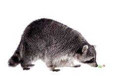 浣熊(浣熊属lotor)在白色背景 库存图片