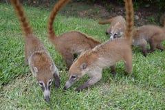 浣熊 自然,热带,加勒比,尤加坦,墨西哥 图库摄影