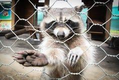 浣熊 免版税库存图片