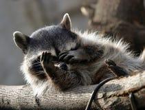 浣熊 免版税图库摄影