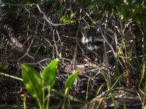 浣熊- Wakulla反弹海岸线 图库摄影