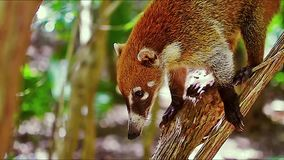 浣熊se mueve en las ramas de los manglares del树丛热带en México 股票录像