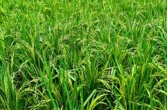 浩大的米领域。 图库摄影