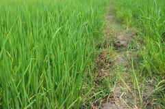 浩大的绿色米和路 库存图片