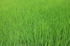 浩大的绿色米 库存照片