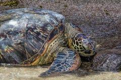 绿浪乌龟休息 免版税库存图片
